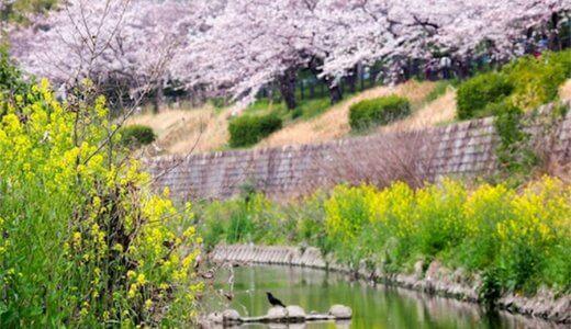 今が見ごろ!さくらの名所・山崎川でお花見をしてきたよ。